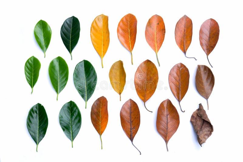 Disposición creativa de las hojas de otoño coloridas Endecha plana ilustración del vector