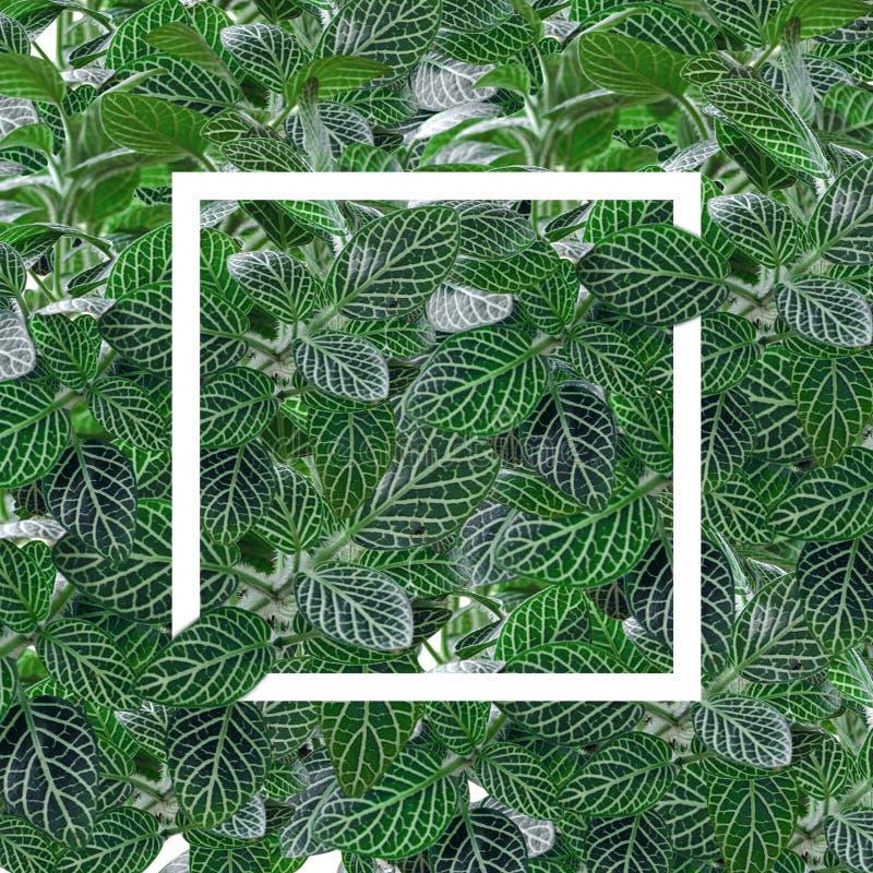 disposición de la naturaleza hecha de la hoja verde y marco blanco, endecha plana y n fotos de archivo libres de regalías