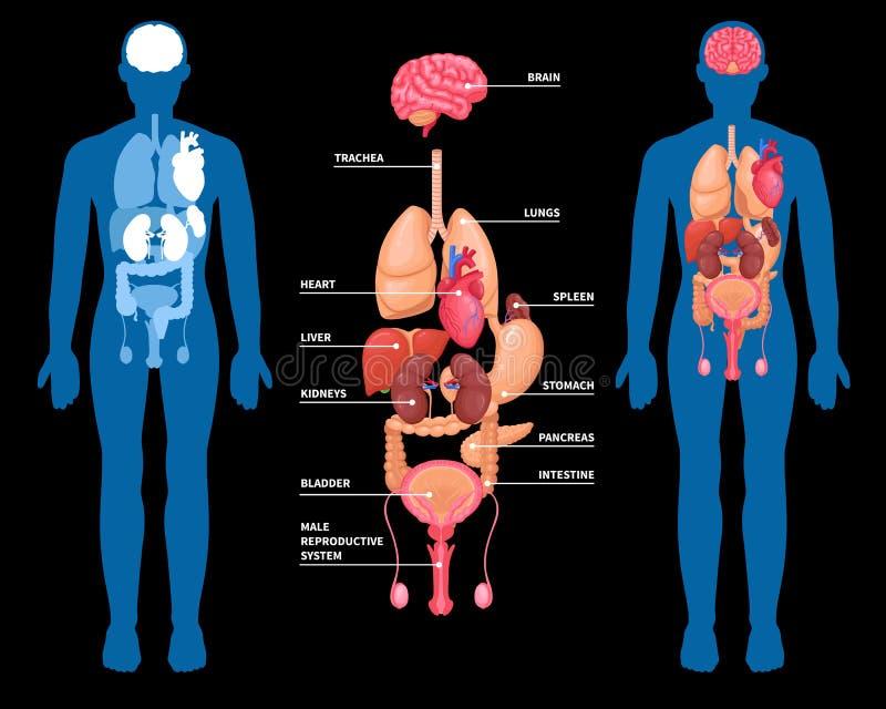 Disposición humana de los órganos internos de la anatomía libre illustration