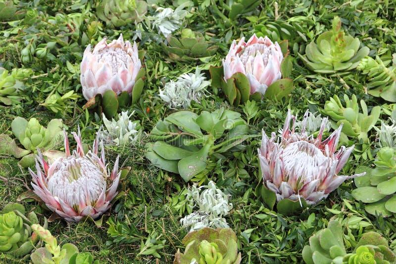 Disposition avec les Succulents et le Protea à la fleur Fes de la Madère photographie stock