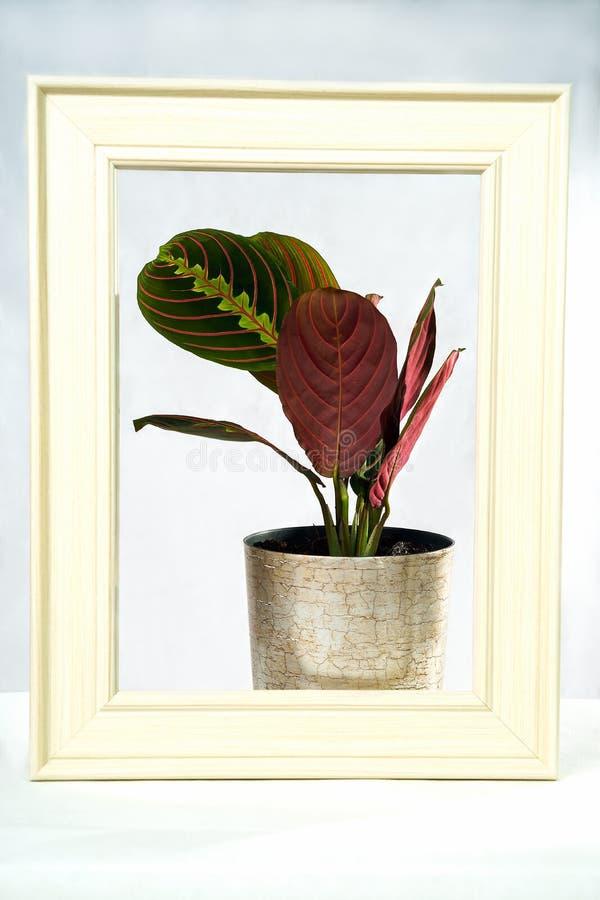 Disposition créative faite avec la feuille verte de calathea et pourpre colorée dans le cadre argenté de pot et de crème de coule photographie stock