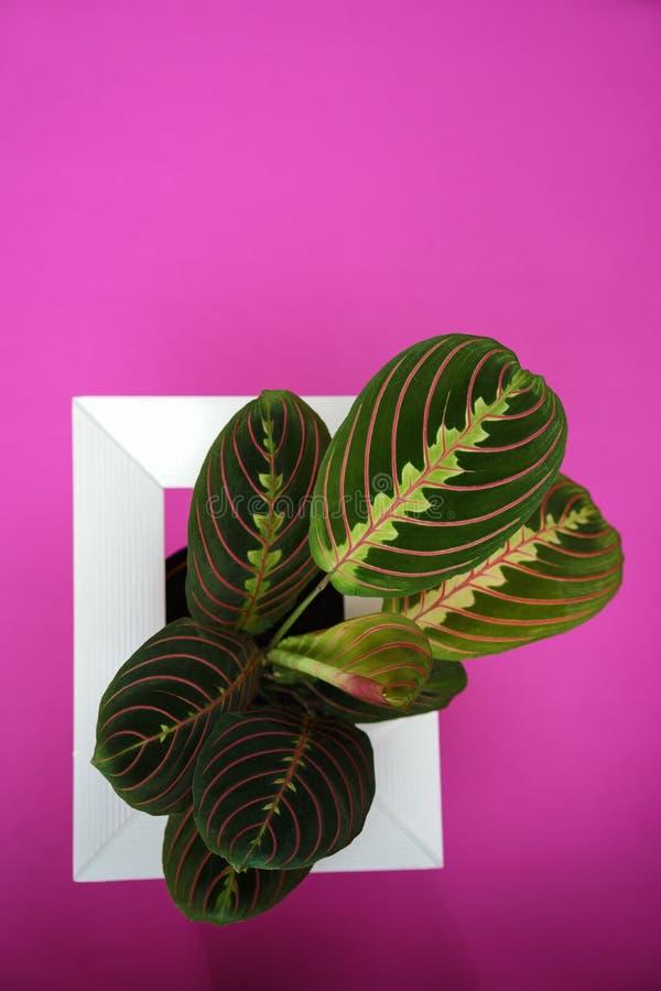 Disposition créative faite avec la feuille verte de calathea et pourpre colorée et le cadre blanc sur le fond rose Calathea Maran images libres de droits