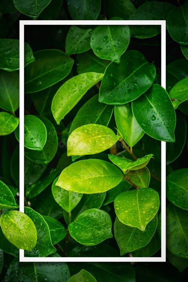 Disposition de pluie humide de feuille verte avec le cadre blanc photo stock