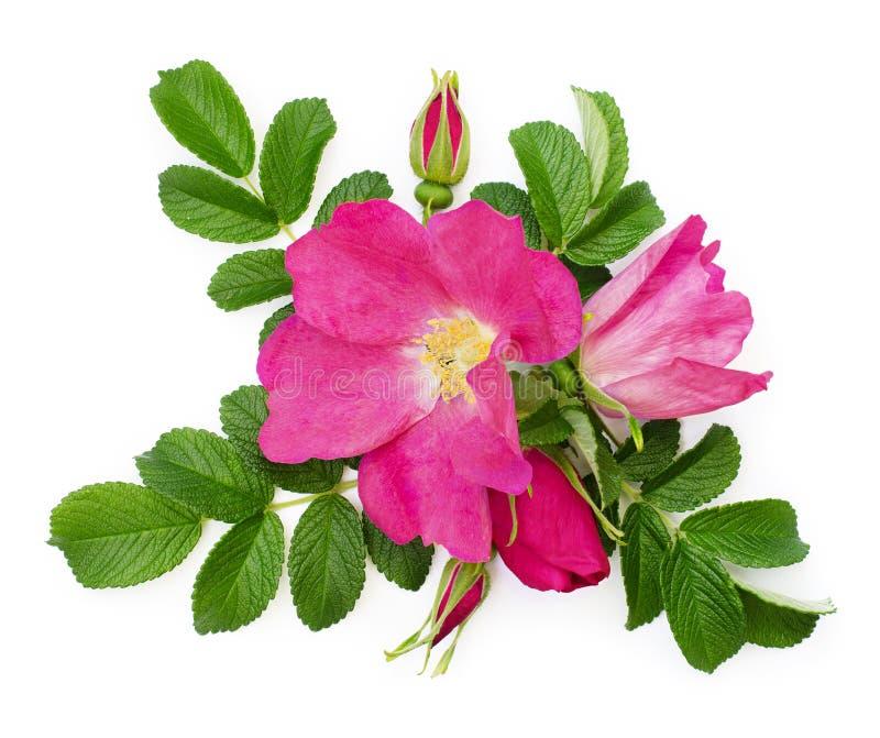 Disposition rose sauvage de fleurs et de bourgeons photographie stock libre de droits