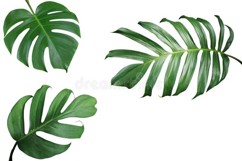 Disposition tropicale de cadre de nature de feuilles de Monstera et de fente-feuille p image stock