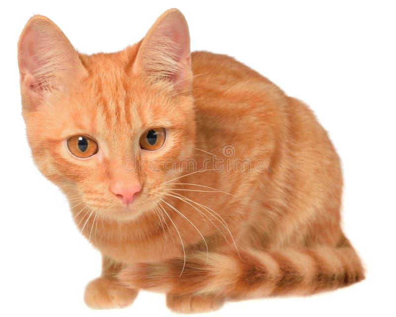 Disposizione arancio del gattino immagini stock libere da diritti