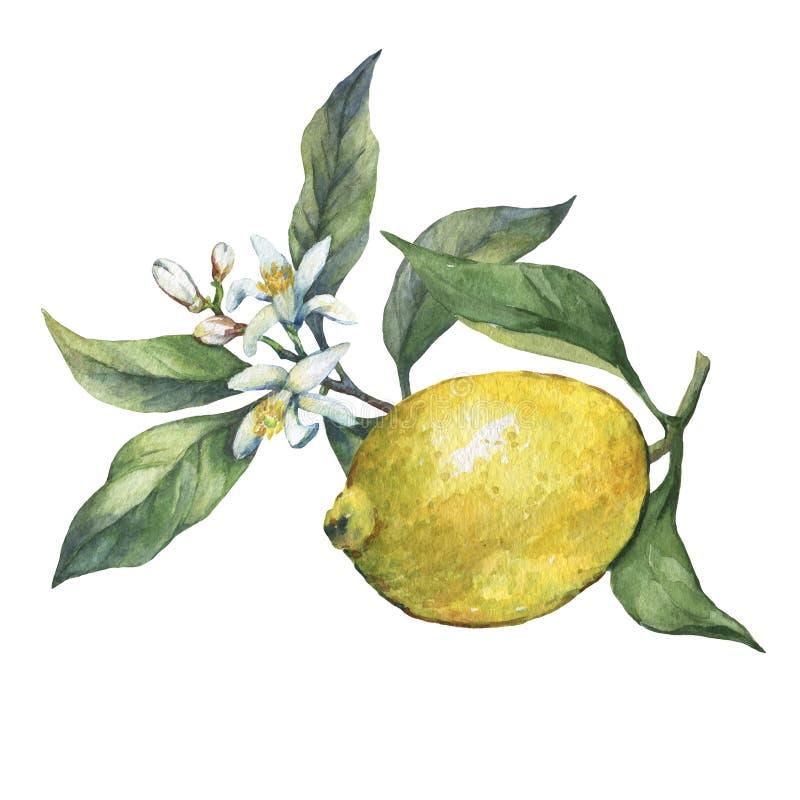 Disposizione con limone fresco della fetta e l'intero degli agrumi con le foglie verdi ed i fiori illustrazione vettoriale
