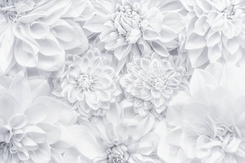 Disposizione creativa dei fiori bianchi, modello floreale o fondo per la cartolina d'auguri del giorno di madri, compleanno, gior immagine stock