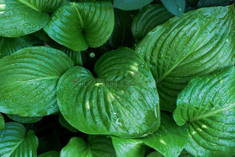 Disposizione creativa fatta delle foglie verdi dopo pioggia con le gocce di acqua Disposizione piana Priorit? bassa della natura immagine stock libera da diritti
