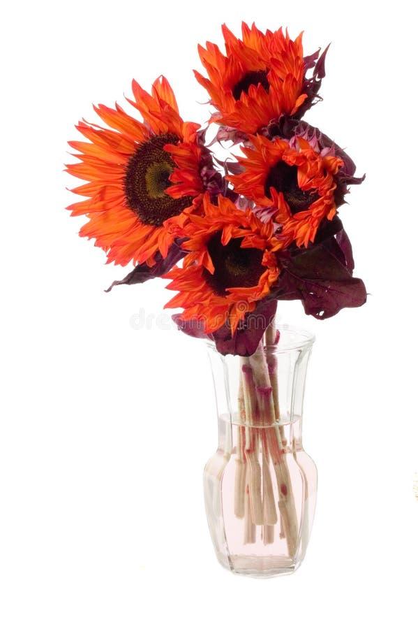 Disposizione dei girasoli arancioni immagine stock
