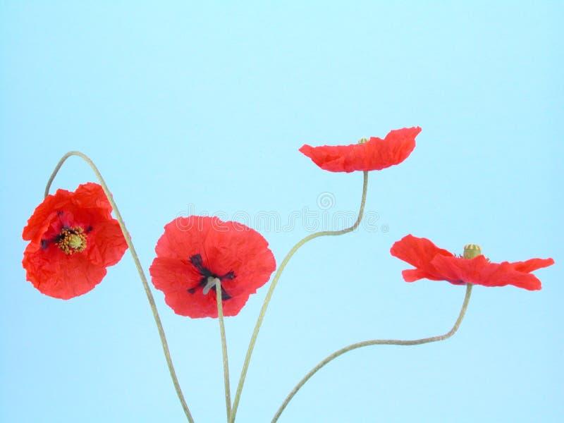 Disposizione dei papaveri rossi fotografia stock
