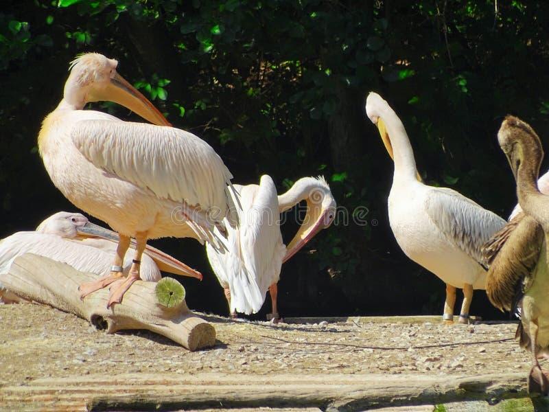 Disposizione dei posti a sedere del pellicano nello zoo di Norimberga in Germania fotografia stock