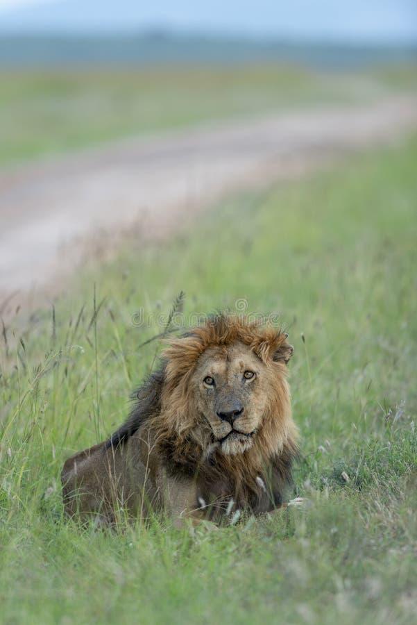 Disposizione dei posti a sedere maschio del leone accanto a Safari Trail ai masai Mara Game Reserve, Kenya, immagine stock libera da diritti