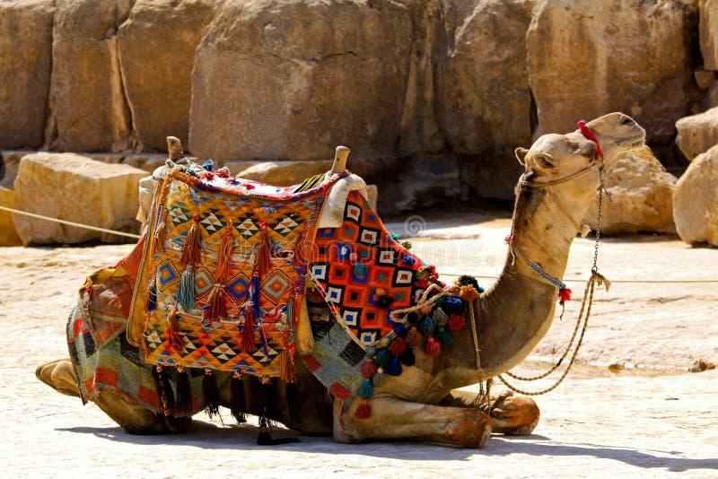 Disposizione del cammello fotografia stock