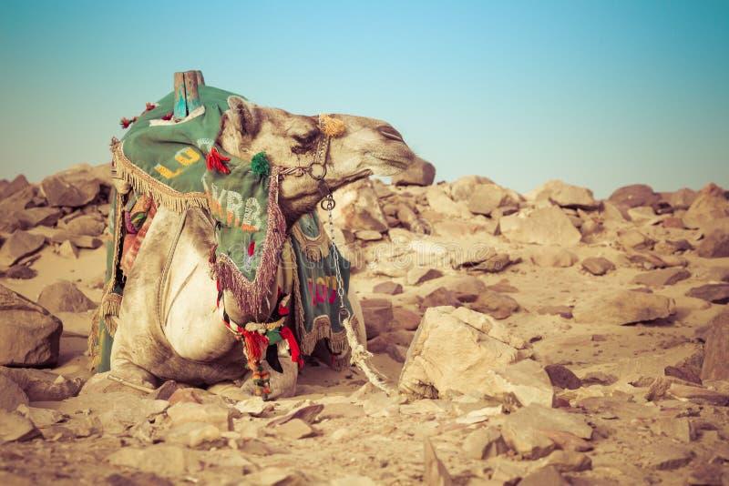 Disposizione del cammello con la sella beduina tradizionale nell'Egitto fotografie stock