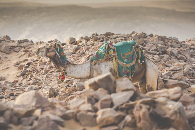 Disposizione del cammello con la sella beduina tradizionale nell'Egitto fotografie stock libere da diritti