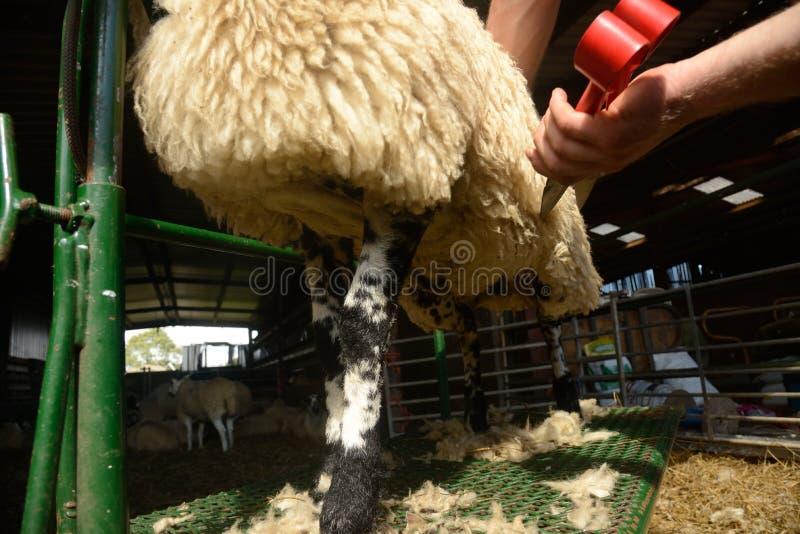 Disposizione delle pecore fotografie stock