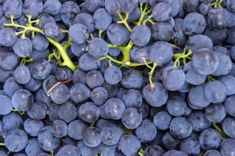 Disposizione piana, i lotti dell'uva blu organica, vino di concetto, il raccolto e succo fotografia stock