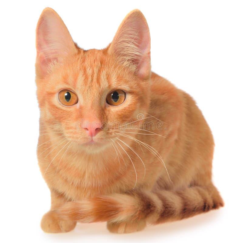 Disposizioni arancio del gattino isolate fotografia stock libera da diritti