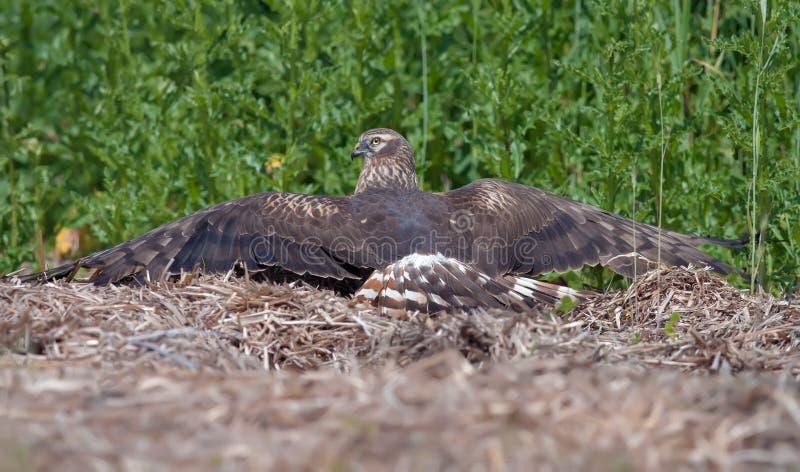 Disposizioni femminili del predatore di Montagus sopra fieno mentre sole che si abbronza nel campo immagini stock libere da diritti
