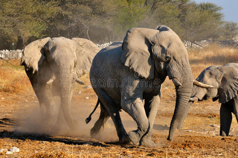 Disputa del elefante, parque nacional de Etosha, Namibia foto de archivo