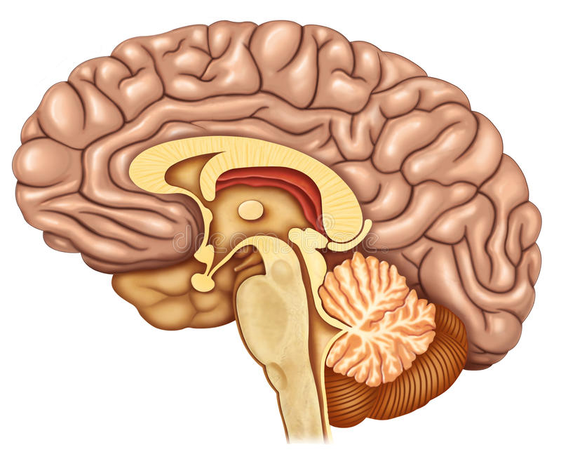 Dissected brain lateral view vector illustration