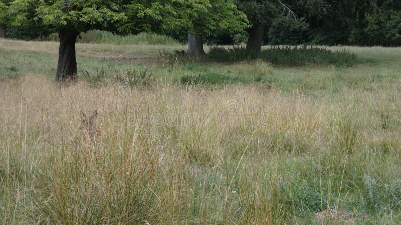 Dissimulation d'heures nouveau-nées de faon de cerfs communs rouges dans un pré anglais photos stock