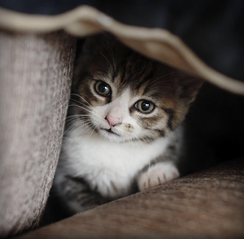 Dissimulation timide de chaton photos libres de droits