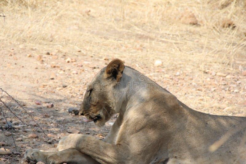 Dissingsleeuw tijdens dagtijd bij ruaha nationaal park Tanzania stock fotografie