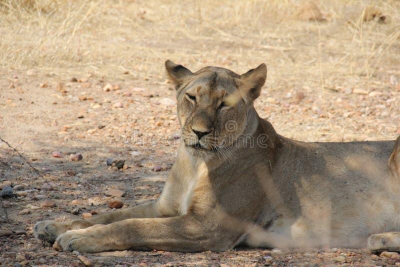 Dissingsleeuw tijdens dagtijd bij ruaha nationaal park Tanzania royalty-vrije stock foto