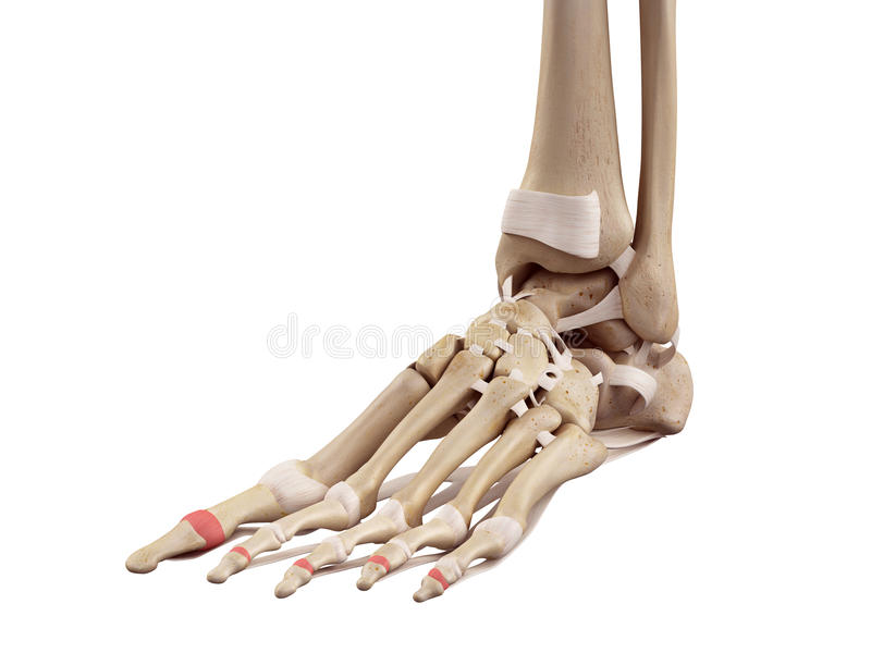 The distal joint capsules. Medical accurate illustration of the distal joint capsules royalty free illustration