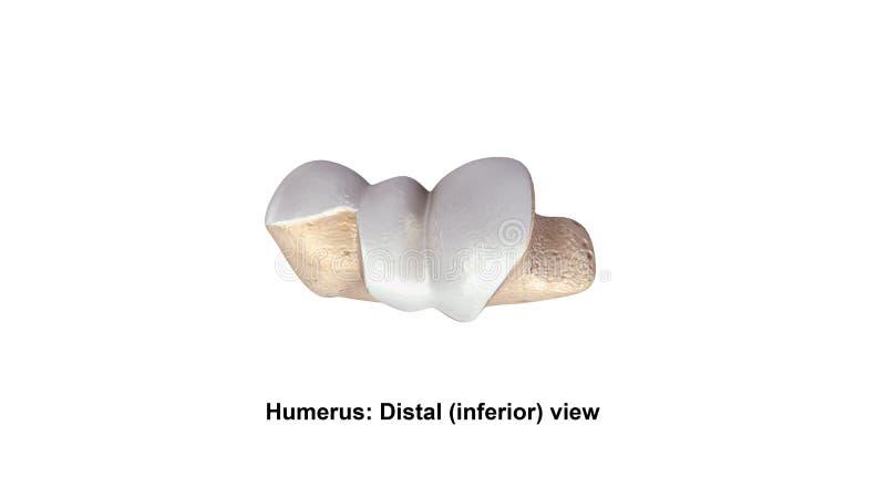 Distal underlägsen sikt för humerus stock illustrationer