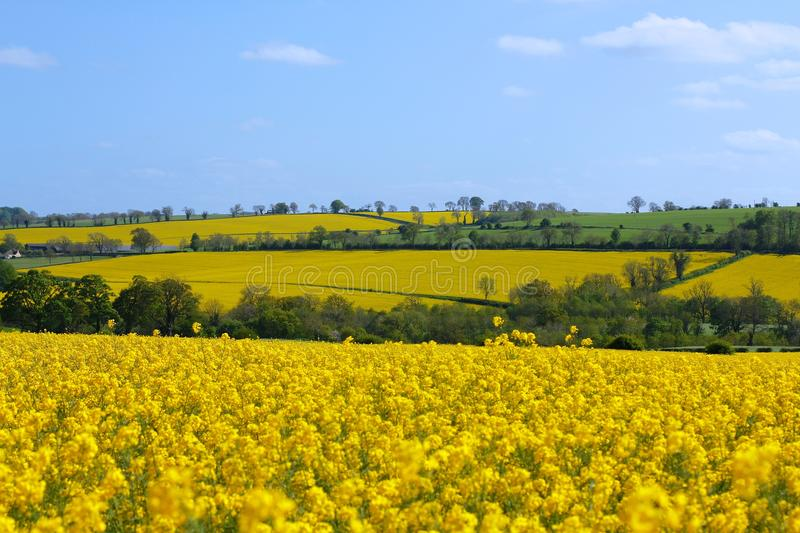 Distant Canola Seed Fields. Canola Seed Fields in the Cotswolds, Gloucestershire English countryside. Distant yellow and green fields, trees, blue sky, far stock photos