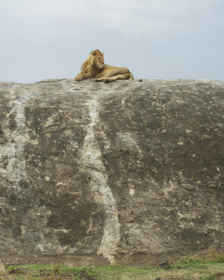 Distant view of a lion lying on top of a large grey rock stock photos