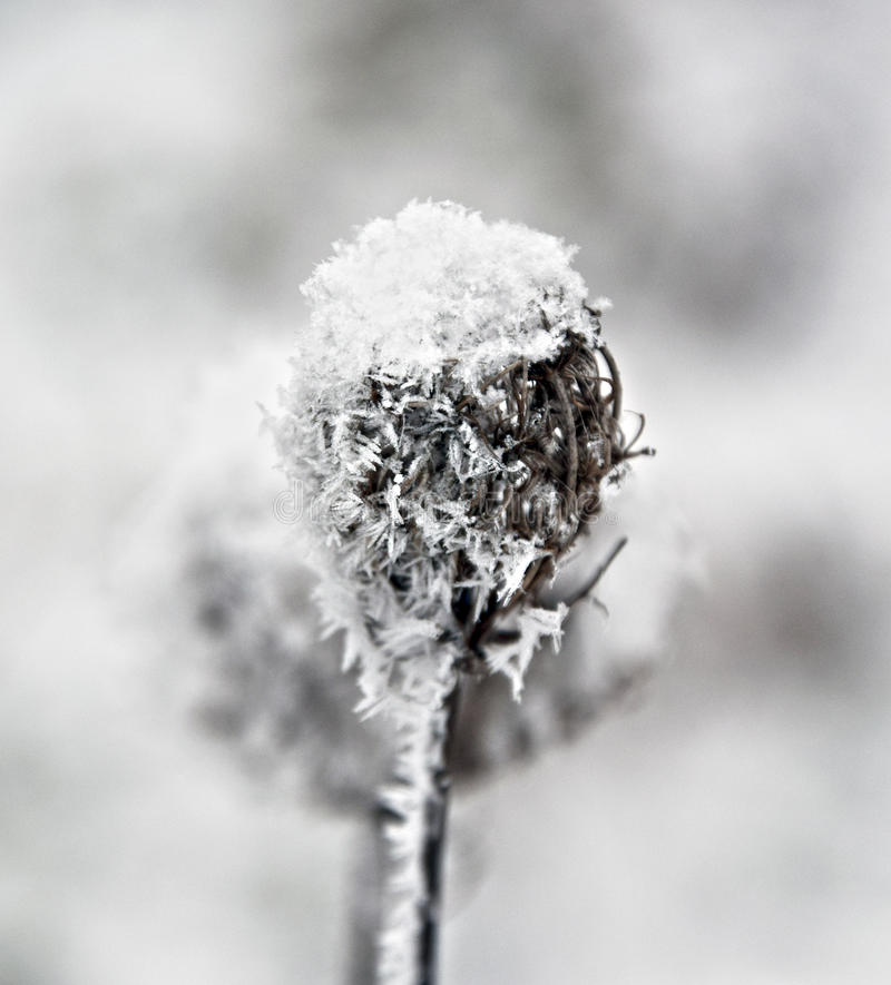 Distel in de winter stock foto