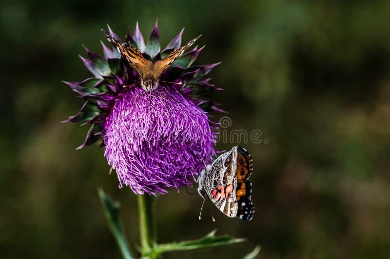 Distel en Butterflys stock afbeeldingen
