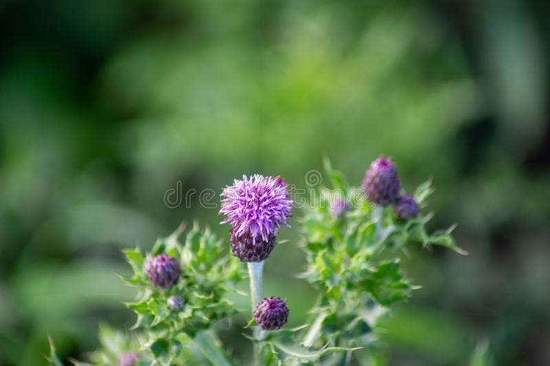 190 Distel Photos Free Royalty Free Stock Photos From Dreamstime