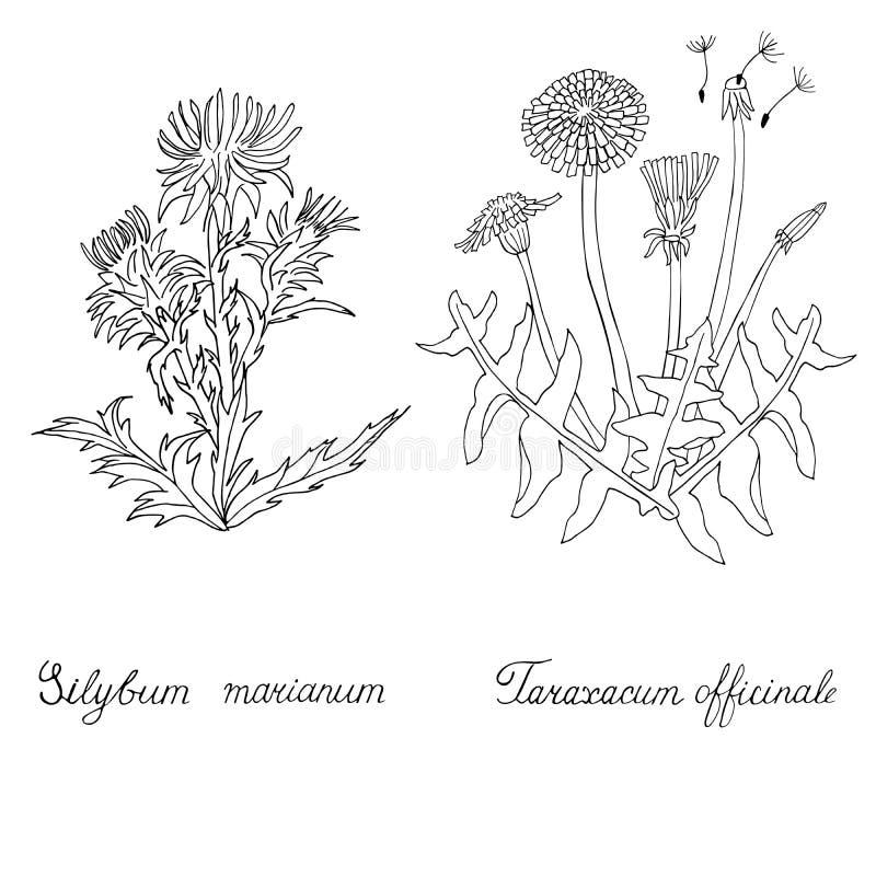 Distel- und Löwenzahnhand gezeichnet Silybum marianum und Taraxacum officinale lizenzfreie stockfotografie