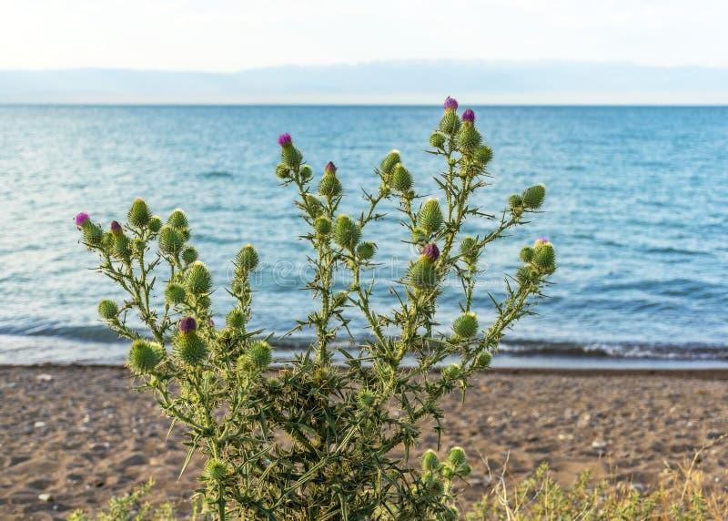 Distelblüte auf dem Strand nahe dem Meer Sch?ner Seeblick Wilder Strand vegetation lizenzfreie stockfotografie