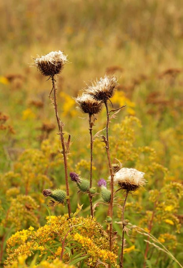 Distelblume nach der Zerstreuung von Samen stockfotos