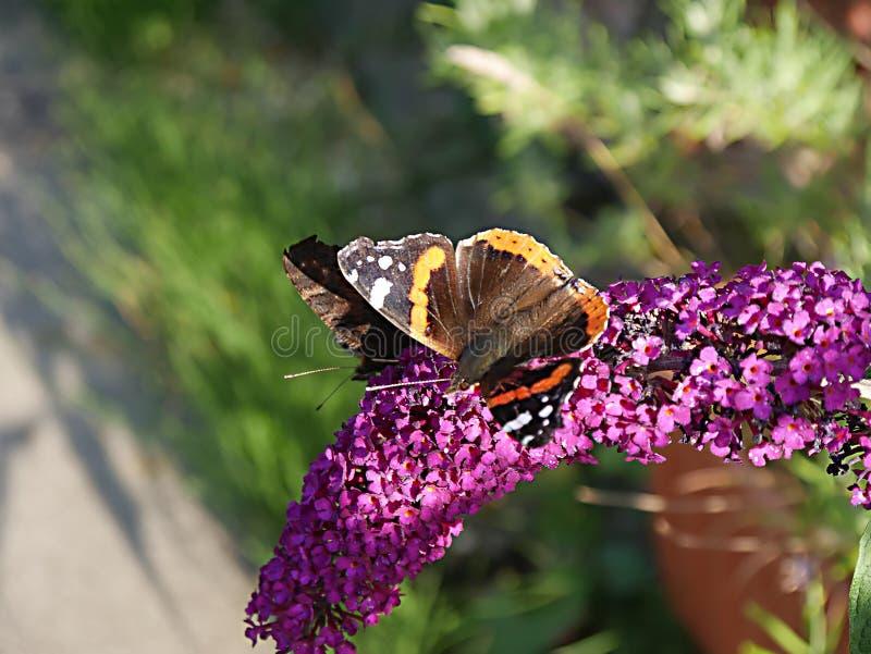 Distelfalter, Vanessa, cardui, Schmetterling, der auf buddlea Busch im Garten in Burnley England einzieht lizenzfreie stockbilder