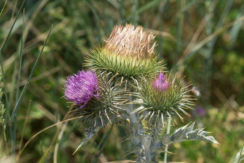 Distelknoppen en bloemen op een de zomergebied royalty-vrije stock fotografie