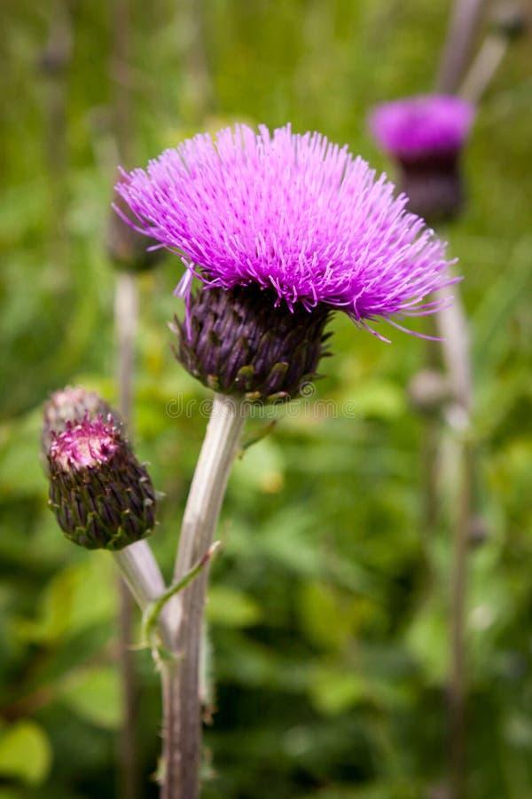 Distelknoppen en bloemen op een de zomergebied De distelinstallatie is het symbool van Schotland royalty-vrije stock fotografie