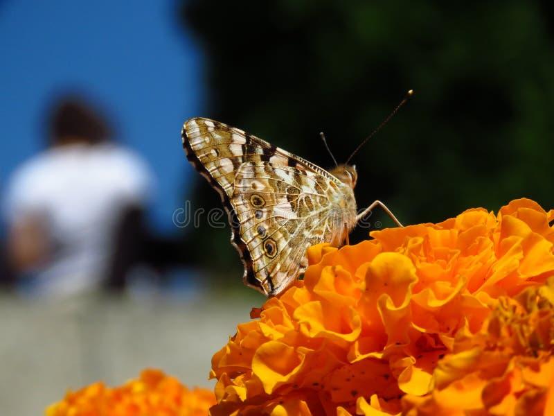 Distelvlinder - Distelvlinder op oranjegele de zomerbloem vage achtergrond De tuinbloem van goudsbloemtagetes stock foto