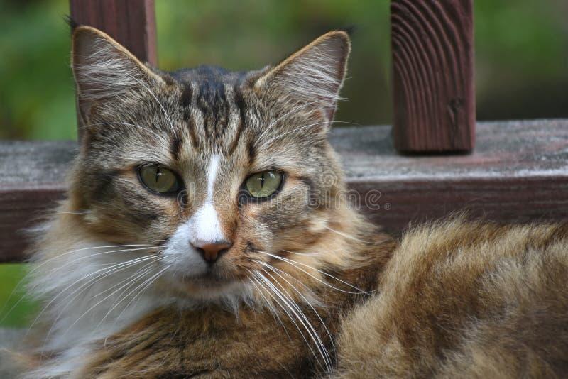 Distensione del gatto fotografia stock