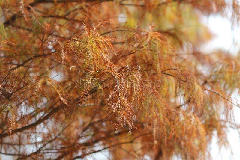 Distichum de Taxodium images stock