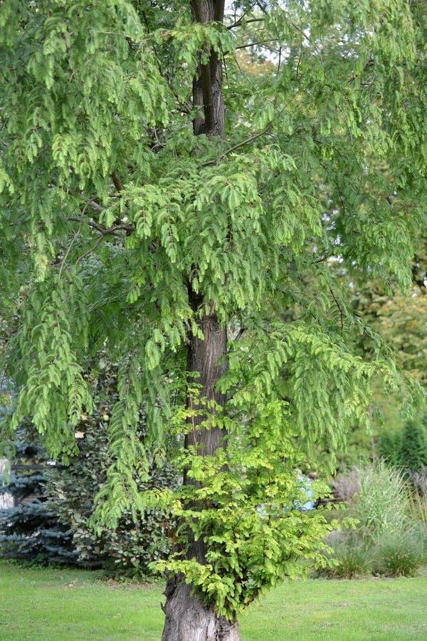 Distichum l Taxodium двух-строки Taksodium кипариса болота богато стоковое изображение