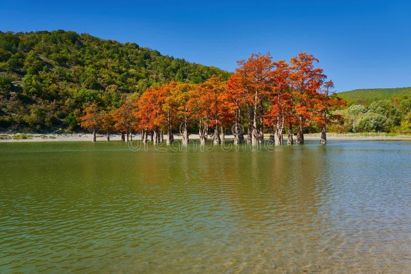 Distichum majestueux de Taxodium dans un lac magnifique contre le contexte des montagnes de Caucase en automne Automne octobre Su photo libre de droits