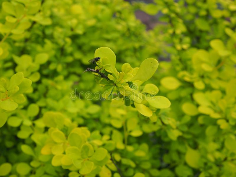 A distinct black little fly. Against a background of green vegetation royalty free stock photo