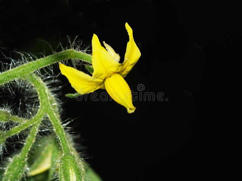 The distinctive flower of the tomato plant. The tomato plant has a very distinctive, multi-petaled, yellow flower. Here it is isolated against a black background royalty free stock images